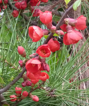 ボケの花 Boke_blossom
