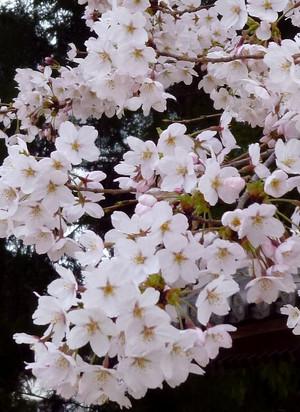 桜 ソメイヨシノ Cherry_blossom