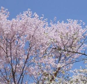 まめ桜 Mamezakura