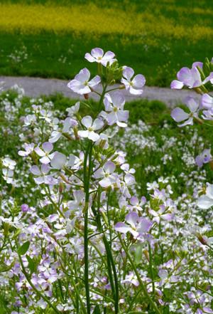 菜の花 薄紫 Nanohana