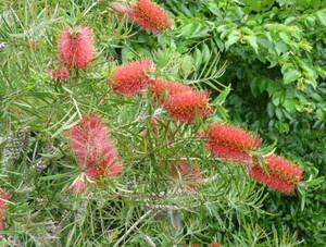 ブラシノキ Herb05
