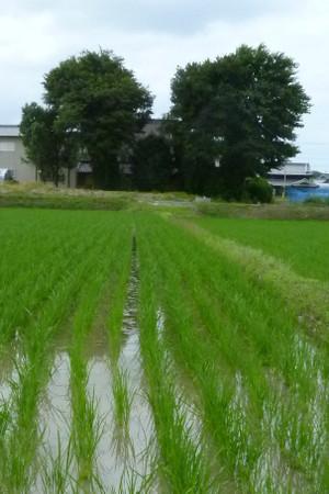 神戸市西区  田植え直後の水田 Suiden