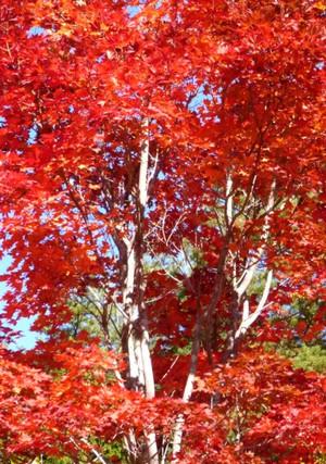赤沢自然休養林の紅葉 Fall360momizi