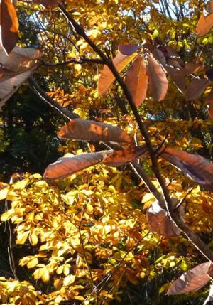 赤沢自然休養林の朴(ホオ)の紅葉 Fall368hooba