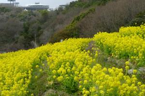 神戸総合運動公園コスモスの丘 菜の花 Nanohana
