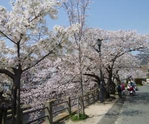 2013年 芦屋川河岸の桜 Cherry_ashiya02