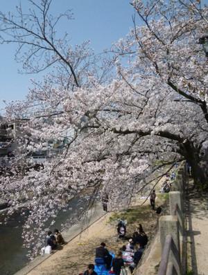 2013年 芦屋川河岸の桜 Cherry_ashiya03