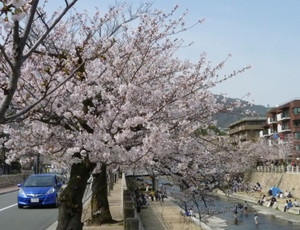 2013年 芦屋川河岸の桜 Cherry_ashiya04