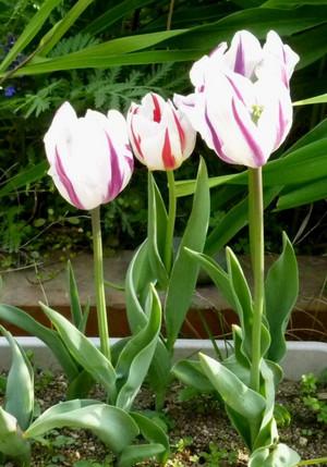 チューリップ Tulip04