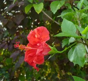 ハイビスカス Hibiscus