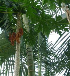 見土呂(みとろ)フルーツパーク パパイヤ Papaya