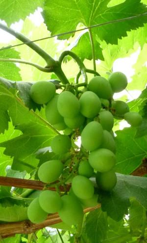 ブドウ 巨峰 Grape