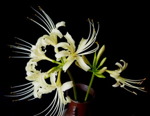 White_lycoris