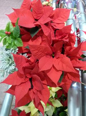 街角のクリスマス 神戸・三ノ宮 さんちか入り口 ポインセチア Christmas02