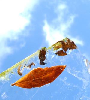 池の氷に閉じ込められた葉っぱ Ice_on_pond_leaf