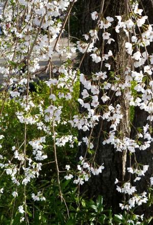 枝垂れ桜 Cherry_blossom_white