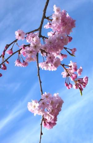 枝垂れ桜 Cherry blossom pink