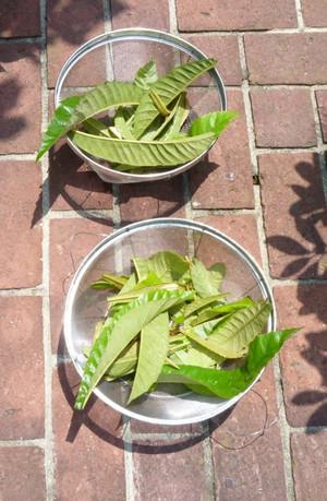 ビワの葉茶 Tea01