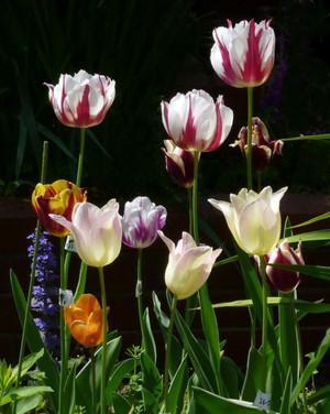 チューリップ クリーム色が エレガントレディ Tulip02