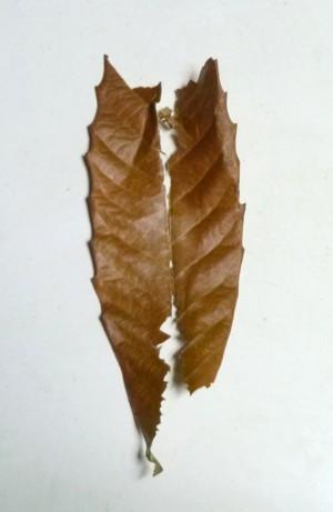 Loquat_leaf