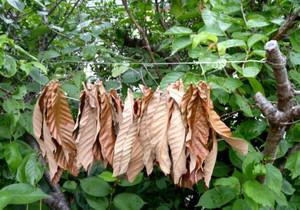 Loquat_leaf_dry