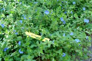 神戸布引ハーブ園 アメリカンブルー P0260