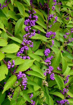 紫式部 P0323