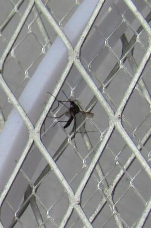 電撃殺虫ラケットに補殺された蚊 Mosquito_racket