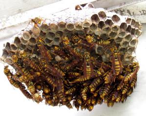 アシナガバチの巣 Img_0031_ashinagabachi