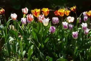 チューリップの植え方 Tulip