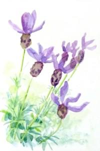 フレンチラベンダー Lavender_fin