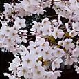 桜   Cherry_blossom