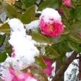 積雪に耐えて咲く「山茶花」(サザンカ)。