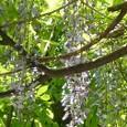 新緑 藤の花