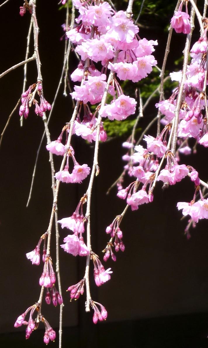 しだれ桜  Cherry_blossom