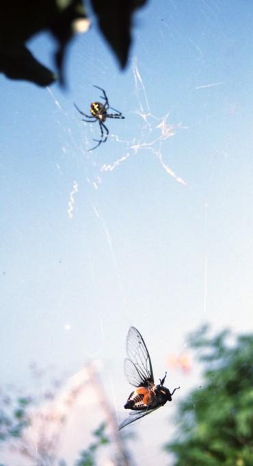 クモの巣に引っかかったセミ
