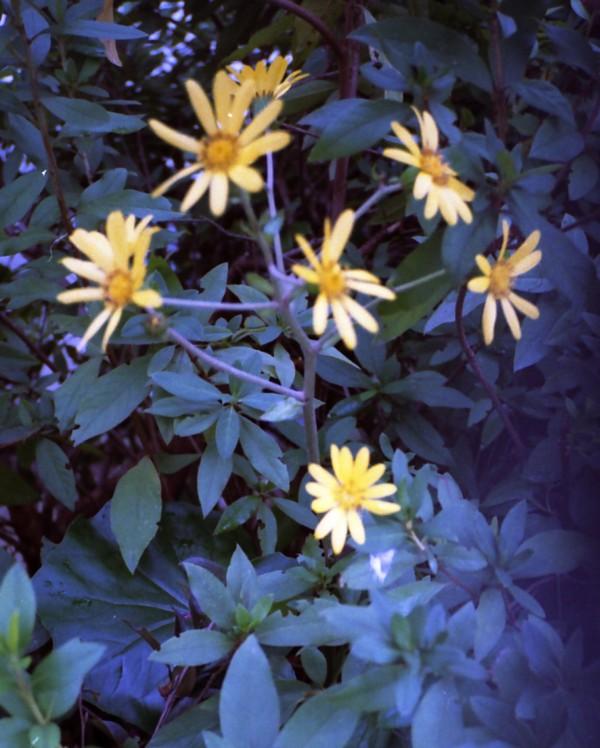 ツワブキの花 <br />Fuki_flower