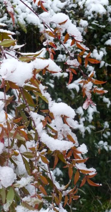 降雪で柳の様に垂れた南天の葉っぱ。