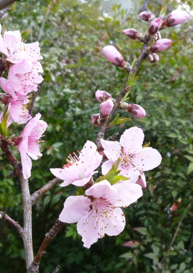 桃の花 Peach_blossom