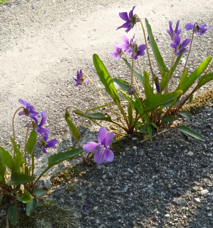スミレ草 Violet