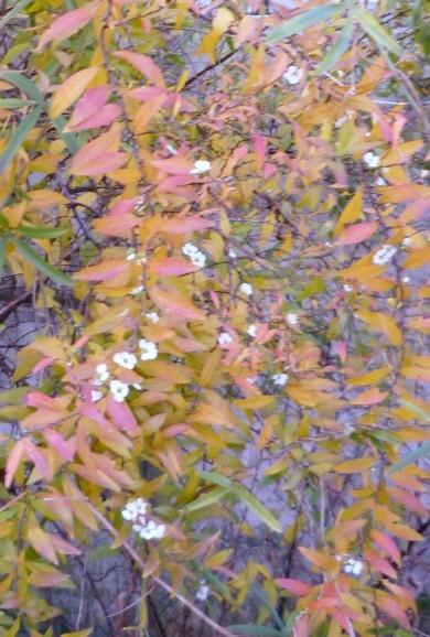 紅葉の雪柳