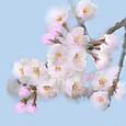 簡単お絵描き 桜  Cherry