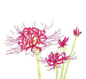 簡単お絵描き 彼岸花 曼珠沙華 ヒガンバナ その2 お絵描きなんて簡単