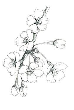 桜 水彩画 Sakura1