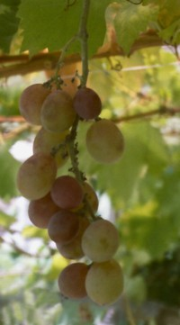 Grape02