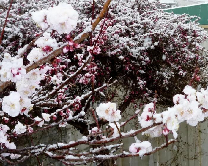 P1000905ume_snow_sml