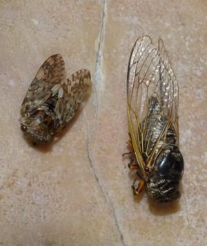 Cicada_dgc