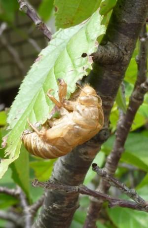 Cicada_dgce