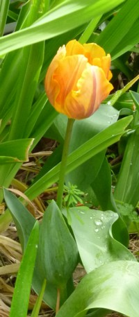Sweet heart Yellow_tulip