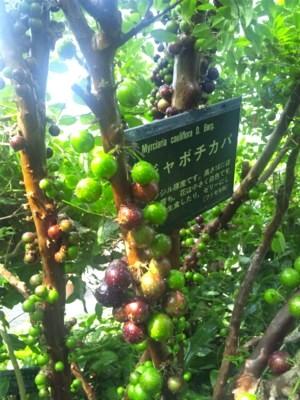 ジャボチカバ 画像提供;みとろ観光果樹園  画像をクリックすると、 果樹園さんのブログが開きます。 Jabuticaba_02